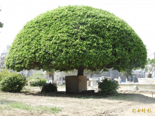 71年前湯德章在原民生綠園(現為湯德章紀念公園)這棵樹下附近遭槍決。(記者洪瑞琴攝)