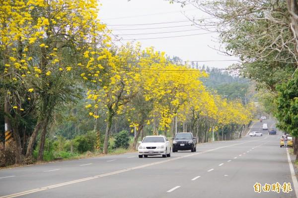 國道3號竹崎交流道往竹崎方向的縣道166線45至46.5公里沿線的黃花風鈴木行道樹也大量綻放,搖身成為「風鈴木大道」,警方提醒駕駛人勿為了賞花分心,以免發生事故。(記者曾迺強攝)