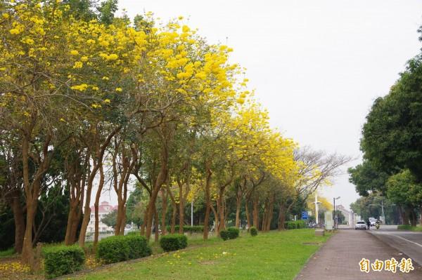 國立中正大學大門前的大學路一段路旁整排黃花風鈴木,悄悄開花。(記者曾迺強攝)