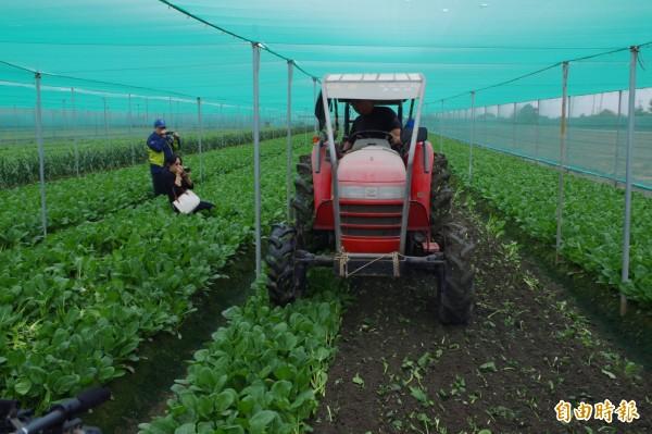 農民耕鋤蔬菜止賠殺出。(記者林國賢攝)