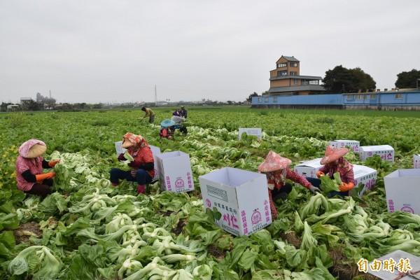 不捨耕鋤菜農僱工搶收芥菜。(記者黃淑莉攝)