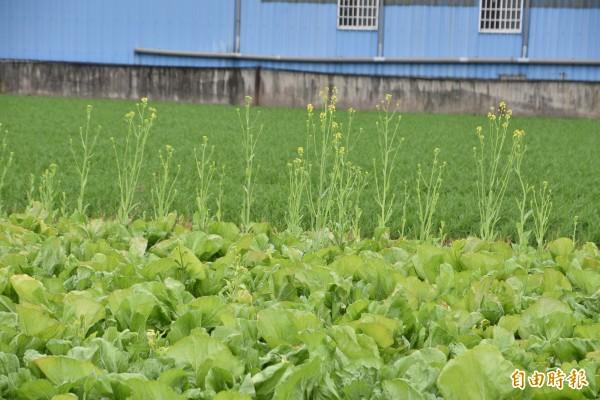 天氣溫暖蔬菜生長快,來不及收成的芥菜開花、裂果,收成減少約5成。(記者黃淑莉攝)