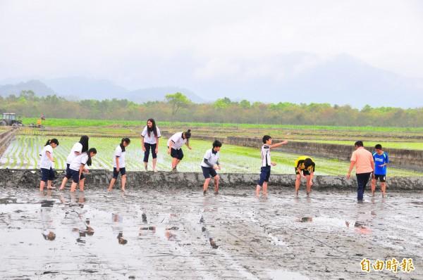 鳳林國中學生踩進水田種「菰米」。(記者花孟璟攝)