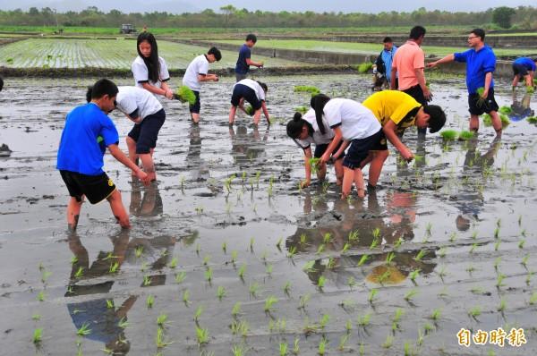 花蓮鳳林國中學生學習插秧,品種是日治時代育種的「吉野一號」天皇米。(記者花孟璟攝)