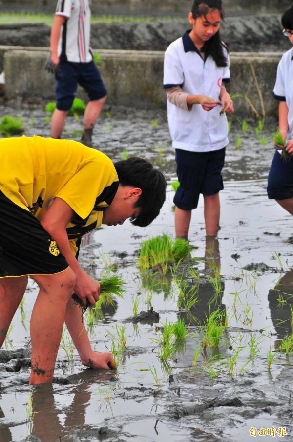 花蓮鳳林國中學生學習插秧。(記者花孟璟攝)