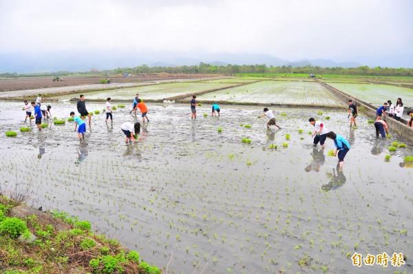 花蓮鳳林鎮農民徐明堂的「鳥居農場」,不使用化學肥及農藥,有機栽培因此產量不高。(記者花孟璟攝)