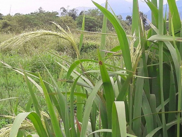 花蓮農民徐明堂在山區的廢棄水塘,找到野生的菰,還結出稻穗。(徐明堂提供)