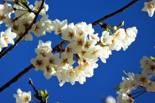 奧萬大的雪白霧社櫻綻開,有不同於緋寒櫻和八重櫻的風情。(南投林管處提供)