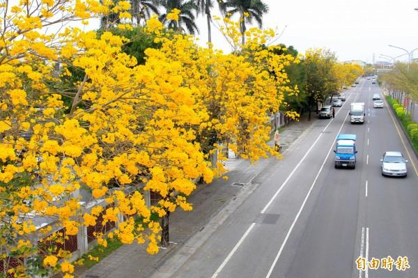 溪州台1線路段,兩旁種植黃金風鈴木,近日進入開花期。(記者陳冠備攝)