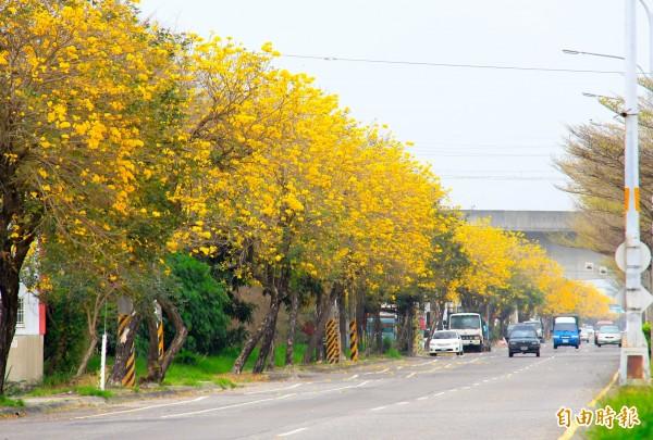 睽違3年,溪州台1線段黃金風鈴木再度盛開,形成一條絕美的黃金廊道。(記者陳冠備攝)