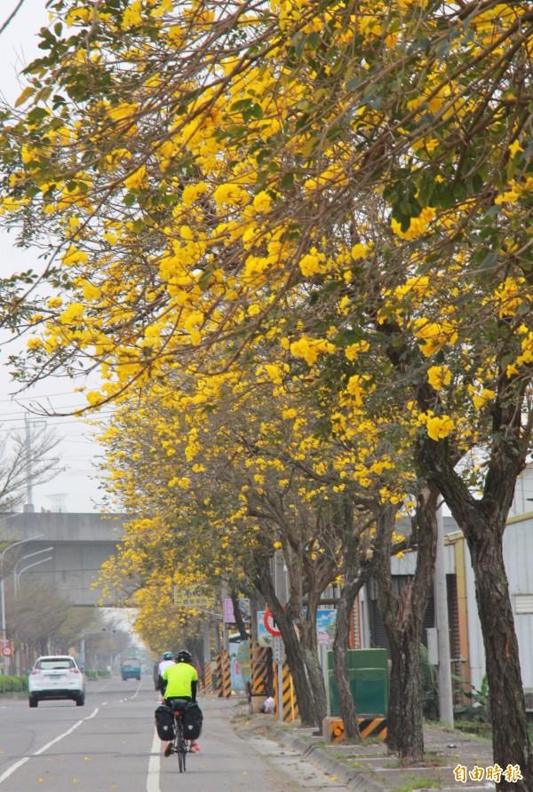 溪州台1線黃金風鈴木盛開,是不少環台騎士必經賞花美景。(記者陳冠備攝)