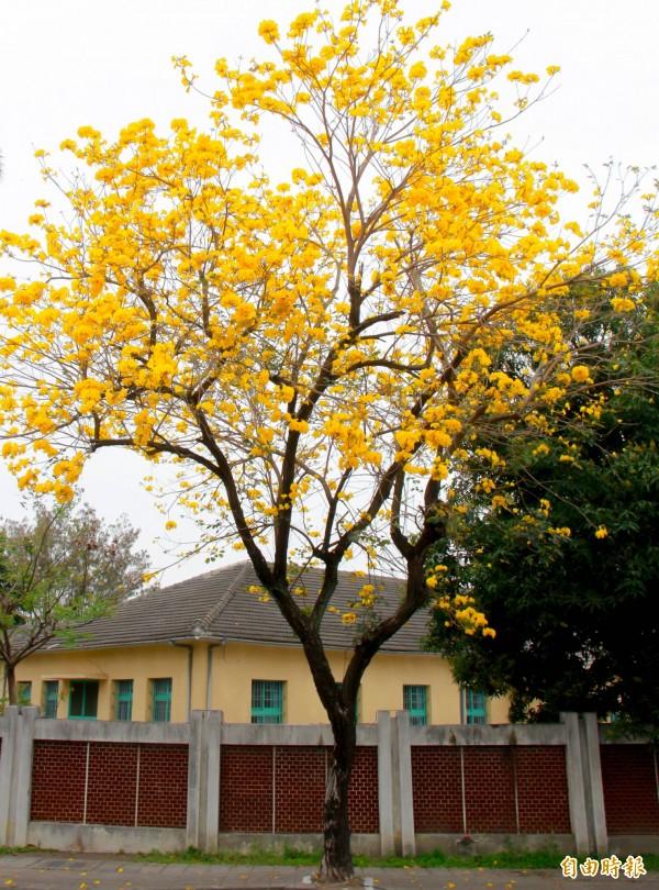 每年3月,溪州黃金風鈴木進入盛開期。(記者陳冠備攝)
