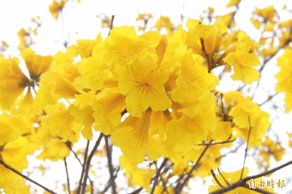 每年3月是黃金風鈴木盛開時期。(記者陳冠備攝)