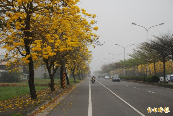 溪州台一線的黃花風鈴木。(記者顏宏駿攝)