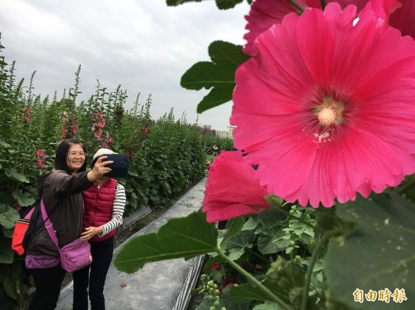 員林南區公園蜀葵花海。(記者顏宏駿攝)