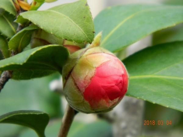 茶花的花朵艷麗。(南投林管處提供)