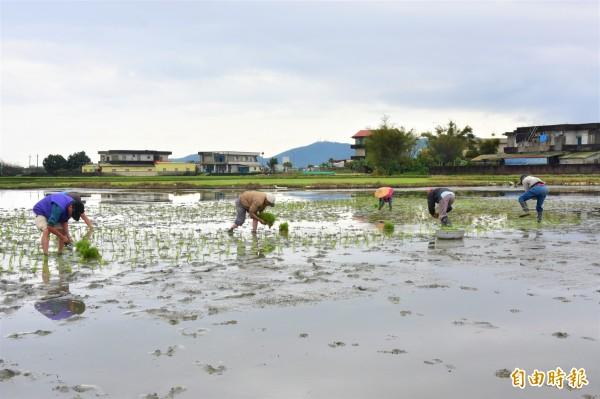 冬山鄉公所與農會合作,今年在三奇村伯朗大道打造可食地景,預計6月結穗。(記者張議晨攝)