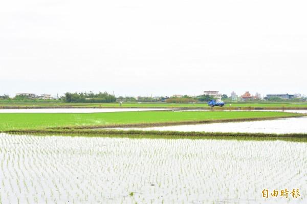 冬山鄉三奇村伯朗大道周邊稻田已完成插秧,預計六月結穗,形成金黃色稻浪。(記者張議晨攝)