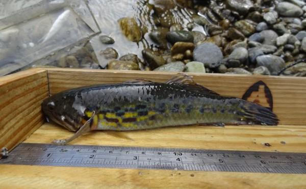 花蓮林區管理處到花蓮三棧溪進行溪流魚類調查,意外發現有著艷麗鱗片的稀有魚類「無孔塘鱧」,宛如「水中琉璃」般迷人。 (花蓮林管處提供)