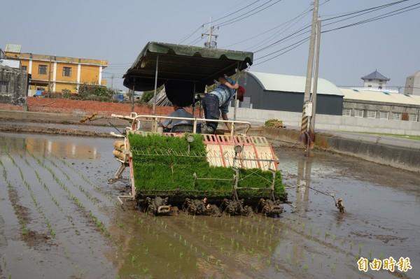 彰化縣一期稻作陸續完成插秧。(記者劉曉欣攝)