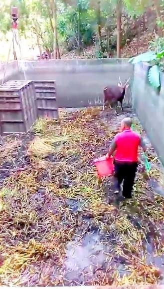 去年12月,曾有野生水鹿闖入社頭山腳路民宅家中。(翻攝照片)