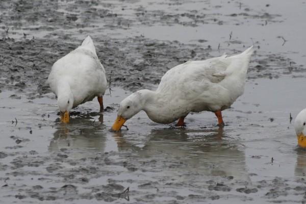 宜蘭綠色博覽會今年邀請鴨子大軍蒞臨,在會場水田示範合鴨米。(記者張議晨翻攝)