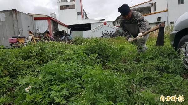 關山鎮人口聚集的主要街道空地有大毒草銀膠菊,林管處關山工作站協助清除。(記者王秀亭攝)