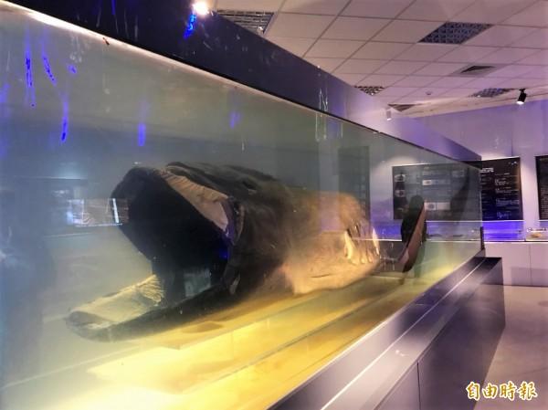 巨口鯊相當罕見,全球發現數量不到100尾。(記者林欣漢攝)
