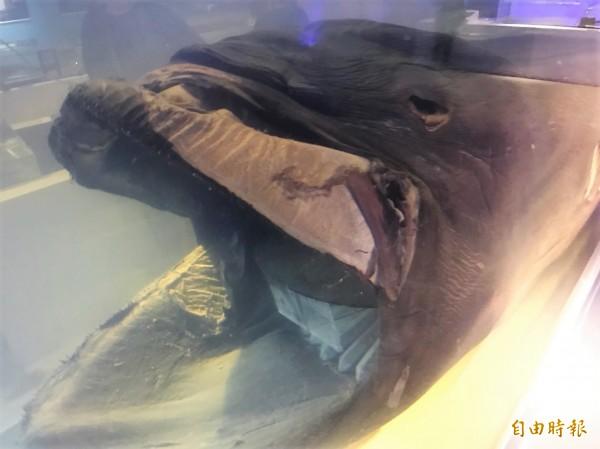 巨口鯊的血盆大口相當嚇人。(記者林欣漢攝)