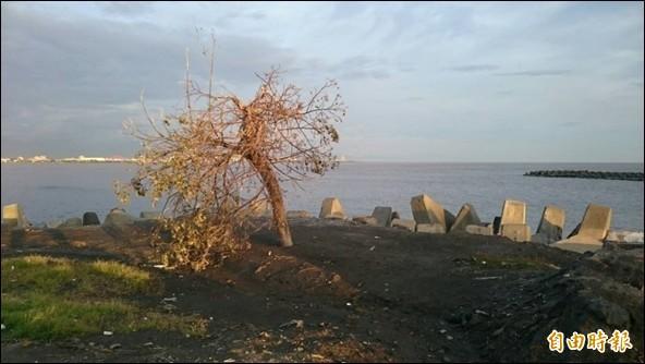 市境之南樹不敵強颱枯死。(記者洪臣宏攝)