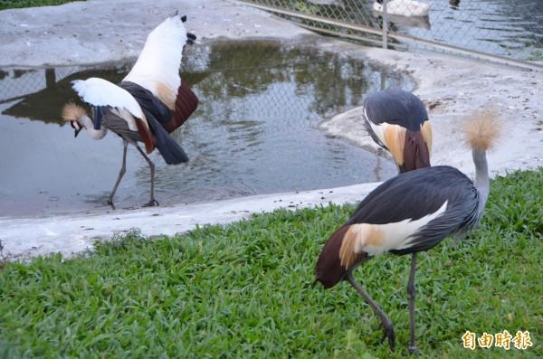 草屯鎮私人鳥園暨動物園中的鳥類種類繁多,生活空間寬敞。(記者陳鳳麗攝)