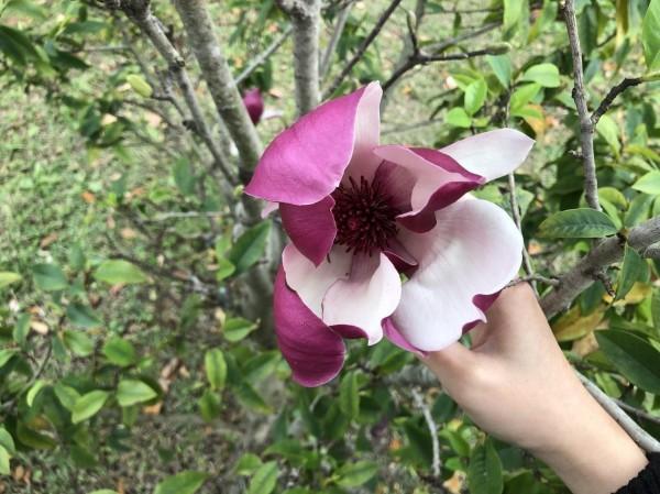 目前已開始進入辛夷花盛開的末期,工務局呼籲,想賞花的民眾要好好把握時機。(北市工務局提供)