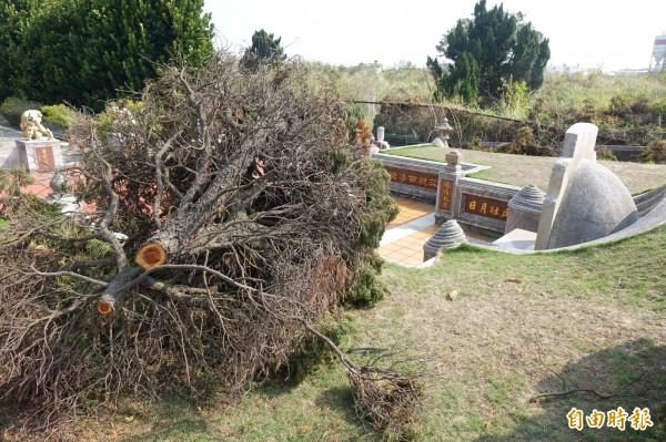 彰化福興許厝埔公墓出現龍柏竊賊,只取龍柏樹幹,其餘丟在原地。(記者劉曉欣攝)
