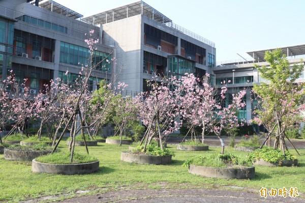 宜蘭地方檢察署種植的57棵櫻花盛開,被稱為「粉紅佳人」。(記者林敬倫攝)