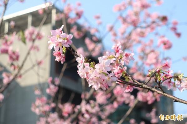 每年3月花期一到,呈現整片粉紅色,被稱為「粉紅佳人」。(記者林敬倫攝)