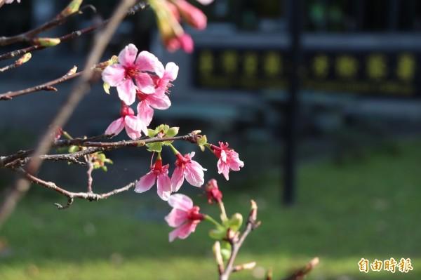 種植5年多來,許多民眾會到此地賞櫻。(記者林敬倫攝)