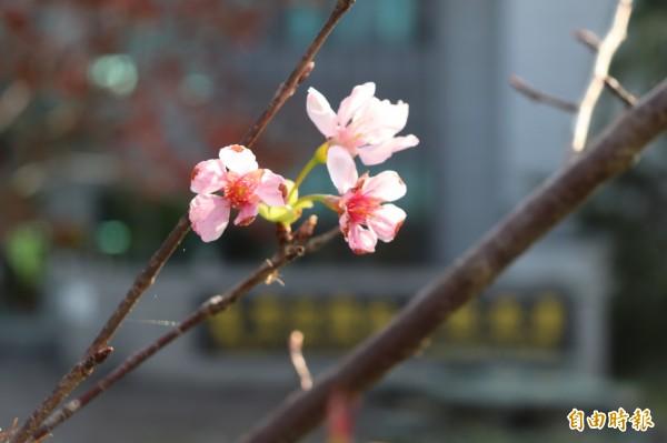 地檢署的櫻花花期約有3週,開花時能提供民眾優美的洽公環境。(記者林敬倫攝)