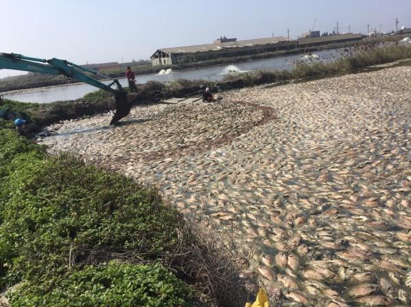 麥寮地區吳郭魚2月遇寒害,死亡嚴重。(養殖業者提供)