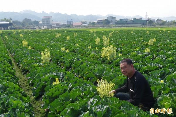 農民鄭世傑說,高麗菜開花就失去商品價值。(記者林國賢攝)