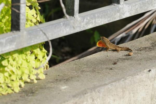 原產於古巴的沙氏變色蜥,體長約15至20公分,體色為褐色或灰色,隨著環境與行為改變,體色還會呈現黑色或灰白色,雄雌蜥皆具有黃色或橘紅色的喉囊。(圖由東華大學林樺廷攝)