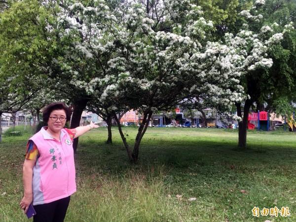 南區積善公園的流蘇樹開花,台中市議員邱素貞邀請民眾來賞花。(記者張菁雅攝)