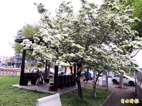 積善公園位在旱溪舊河道邊,白色花朵與綠地相映成趣。(記者張菁雅攝)