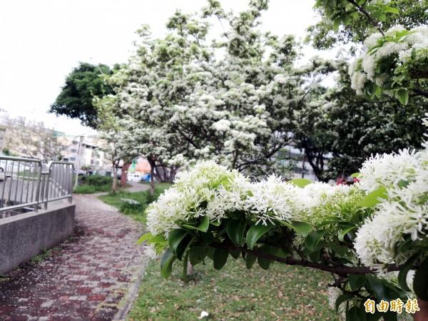 流蘇樹花朵成簇綻放,有如白雪覆蓋枝葉。(記者張菁雅攝)