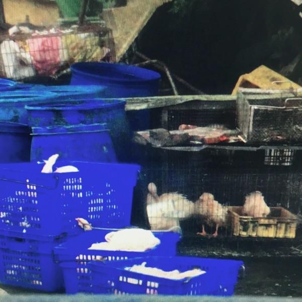 雲林東勢鄉吳姓父女向養禽場收集感染禽流感後仍存活的禽類血液製成血清,誆稱可預防禽流感牟取暴利。(記者廖淑玲翻攝)