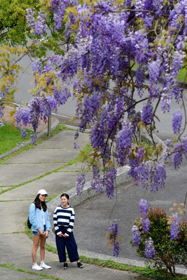 宜蘭縣礁溪鄉私立佛光大學校院內,近期千串紫藤花盛開,美景如畫。(圖由佛大提供)