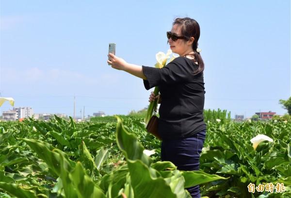 宜蘭縣五結鄉花卉產銷班長簡萬登種植海芋田,近期花朵盛開,吸引不少尋芳客入園採花。(記者張議晨攝)