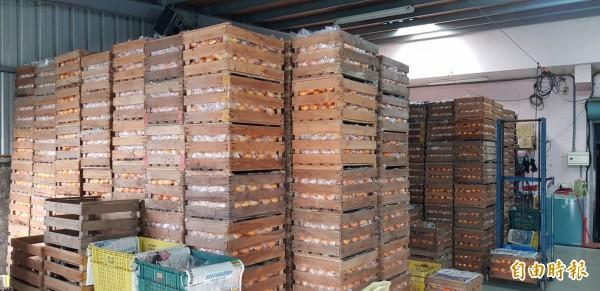東勢區茂谷柑今年盛產,明正里產銷班的集貨場堆滿一箱箱茂谷柑。(記者黃鐘山攝)