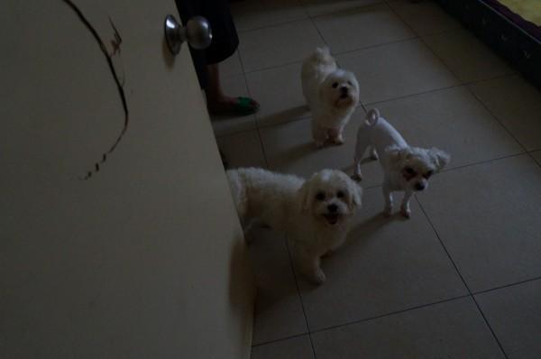 7隻瑪爾濟斯犬沒入送寵物銀行飼養。(基隆市動物保護防疫所提供)