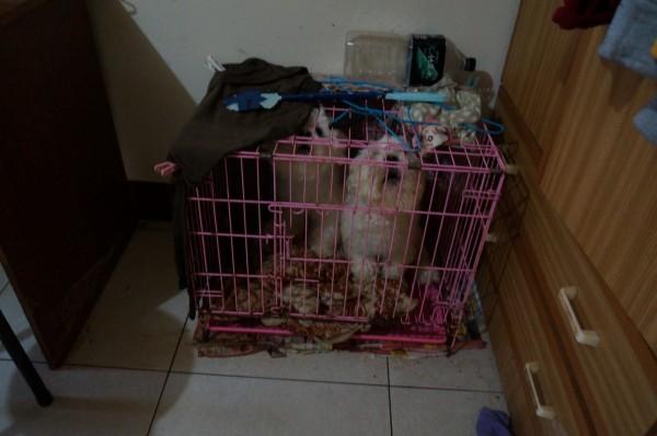 現場查獲7隻馬爾濟斯,有1隻已懷孕的母犬、6隻公犬。(基隆市動物保護防疫所提供)