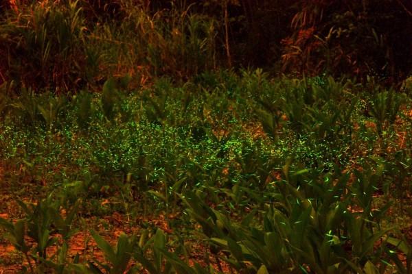 日月潭進入賞螢旺季,潭區周邊休閒農業區都推出賞螢行程。(日管處提供)